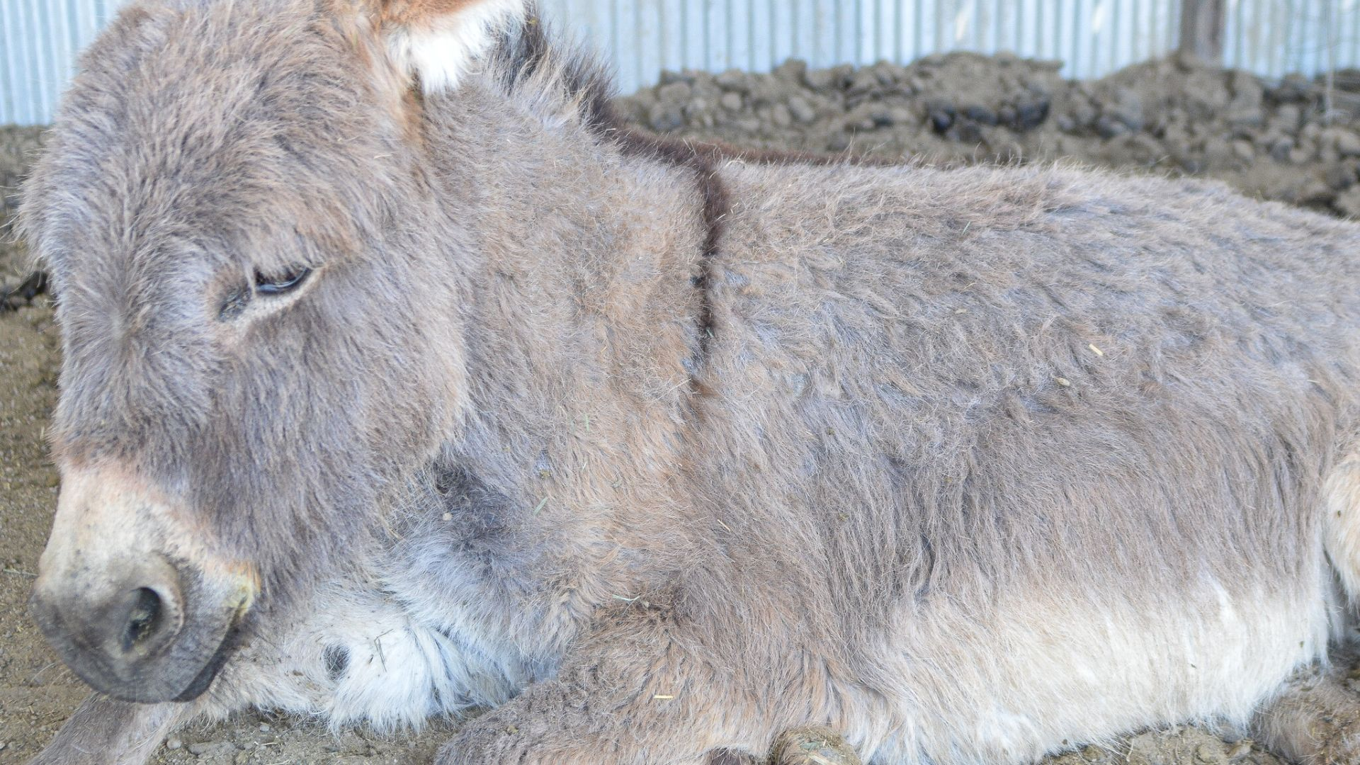 Freya | Mini Donkey