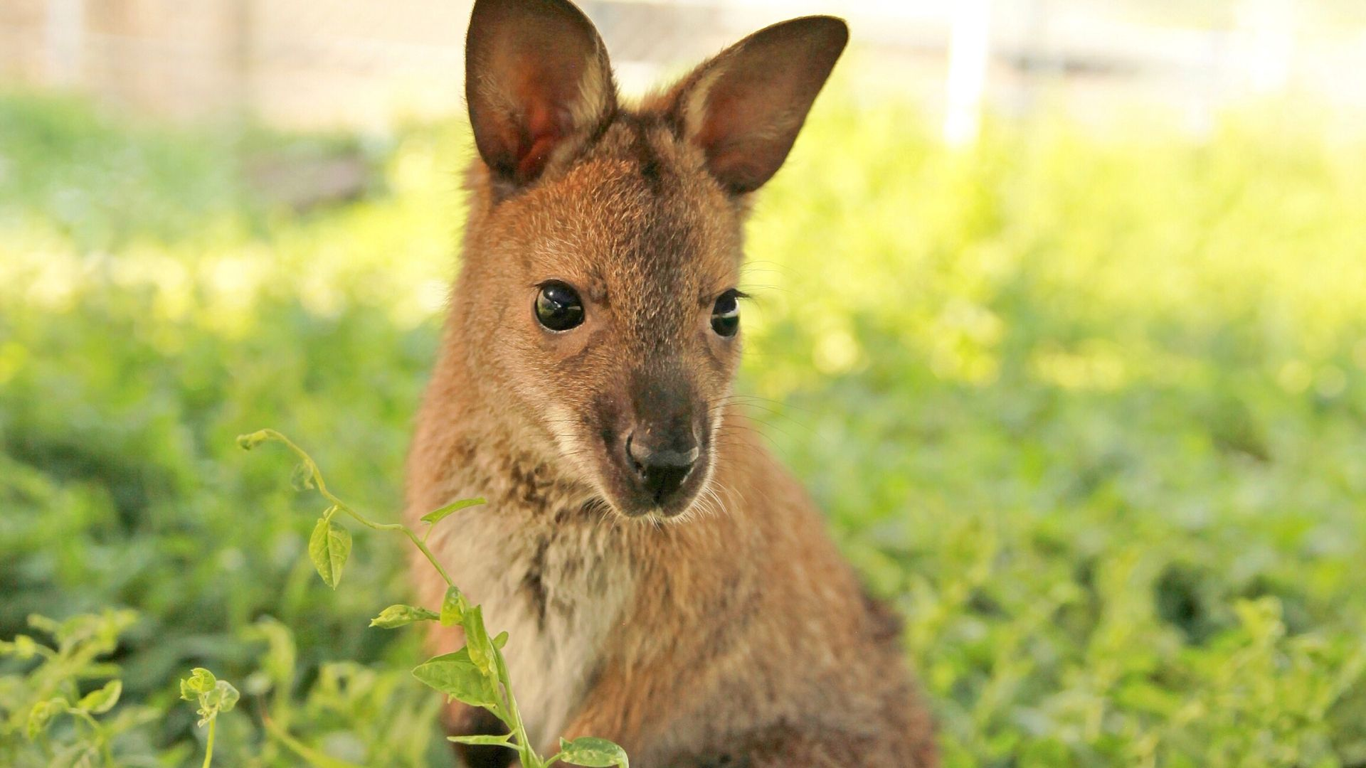 Penny  | Wallaby